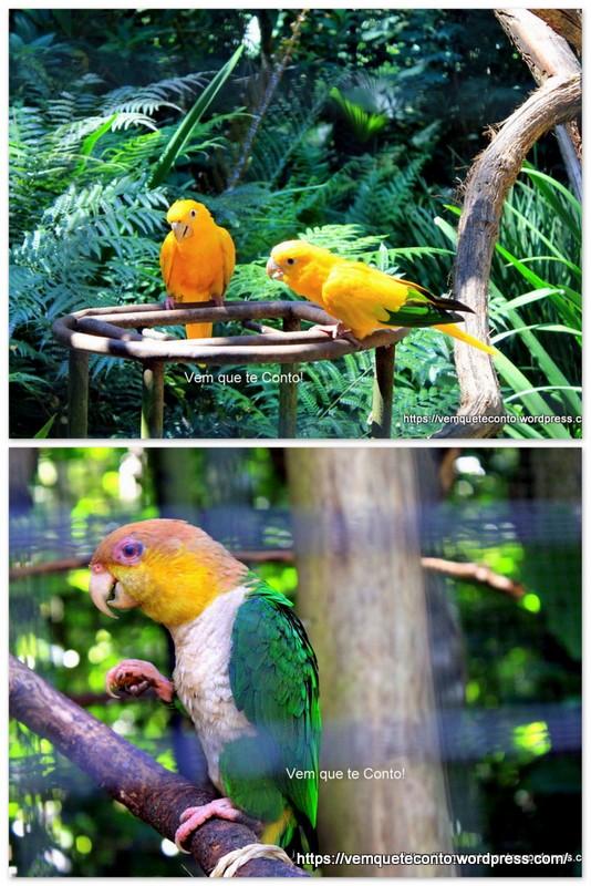 Ararajubas e Marianinha do peito amarelo.